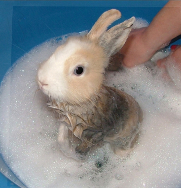 Как мыть кролика в домашних условиях декоративного